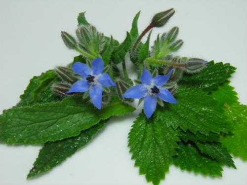 Alimurgia e l'uso di piante spontanee